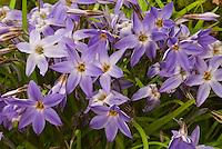 Spring flowering minor bulbs Ipheion 'Froyle Mill' in violet bloom