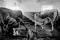 Switzerland. Canton Graubunden. Ftan. Lower Engadine valley. Ursula Pedotti milks a cow in the stable. A veals drinks milk directly from the cow's udder. The cattle is kept on sheds. Manual labor. Labour force. Swiss alpine farmers. Alps mountains peasants.  © 1997 Didier Ruef