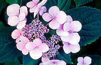 HYDRANGEA FLOWERS: VIOLET IN NEUTRAL SOIL<br /> Hydrangea flowers are blue when soil is acidic and pink when soil is basic.