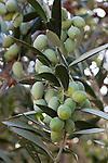 Greece, Aegean Islands, Southern Sporades, Island Samos: Olives | Griechenland, Aegaeis, Suedliche Sporaden, Insel Samos: Oliven