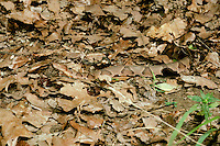 Osage copper head snake, agkistrodon contortria phaeogaster, well camoflaged in dry leaves, Missouri USA