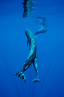 short-finned pilot whales, mother and calf, Globicephala macrorhynchus, Hawaii, Pacific Ocean