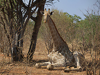A giraffe rest among the trees in Victoria Falls, Zambia Africa.