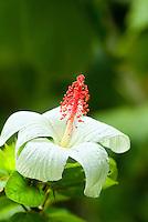 White hibiscus (koki'o ke'oke'o)