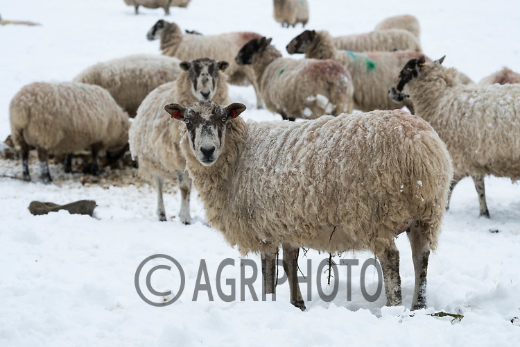 In lamb ewes in the snow<br /> ©Tim Scrivener Photographer 07850 303986<br /> ....Covering Agriculture In The UK....