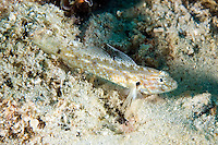 Bartail Goby