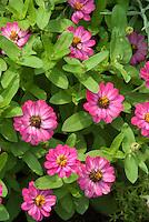 Pink Zinnias in summer annual bloom, angustifolia type