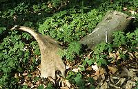 Damhirsch, Abwurfstange, Geweih nach Abwurf auf Waldboden, Dam-Hirsch, Damwild, Hirsch, Männchen, Dam-Wild, Cervus dama, Dama dama, fallow deer