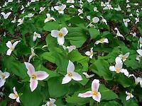 Trilliums in meadow. Oregon