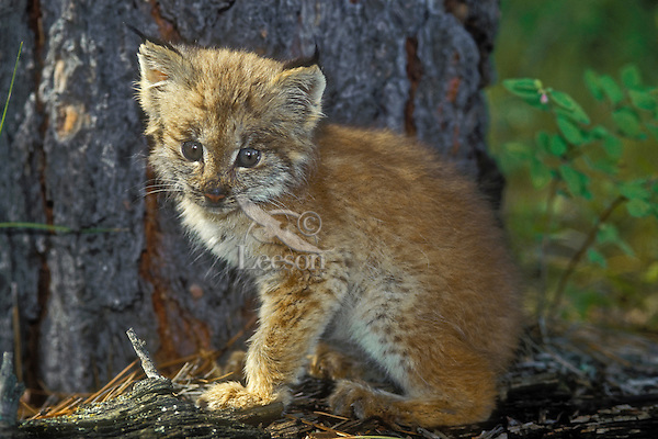 Lynx kitten in fir forest. 2 weeks old. Autumn. North America. Felis lynx canadensis.