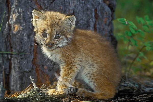Lynx kitten in fir forest. 2 weeks old. Autumn. North America. Felis lynx canadensis.
