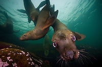 Curious Stellers Sea Lions (Eumetpias jubatus) underwater in the Strait of Georgia off Vancouver Island, British Columbia, Canada.