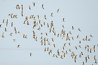 Flock of Marsh Sandpipers (Tringa stagnatilis). Bohai Bay, China. May.