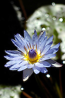 A close-up of a blue, lavender and yellow water lily (or Nymphaea) in a small pond after a passing rain shower, Mountain View, Big Island. This water lily grows well in Hawaiian ponds and huge ceramic planters and enjoy sunny weather.
