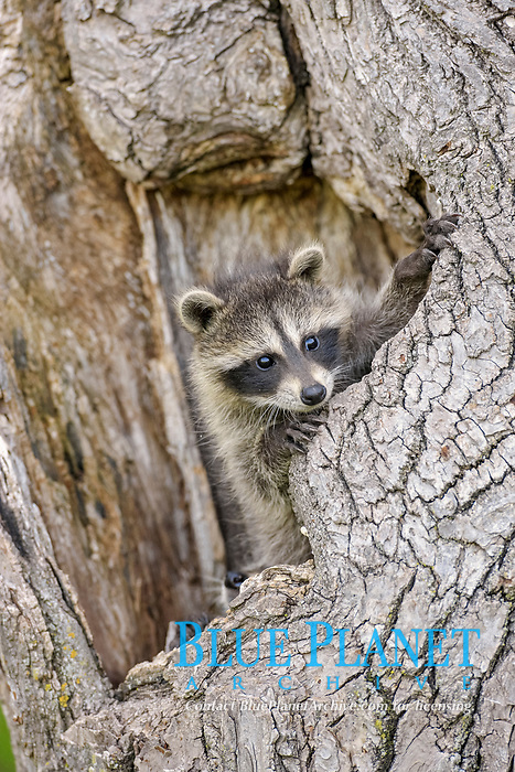 Common Raccoon (Procyon lotor), young, at den entrance in tree trunk, Minnesota, USA, North America