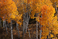 Quaking Aspen (Populus tremuloides) in Teton National Park Wyoming ,fall.