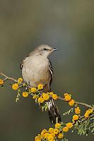 Northern Mockingbird (Mimus polyglottos), adult on blooming Huisache tree (Acacia farnesiana),Dinero, Lake Corpus Christi, South Texas, USA