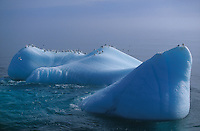 Black footed Kittywakes, Rissa tridactyla,  resting on iceberg Hopen Island, Barents sea, Arctic, North Atlantic