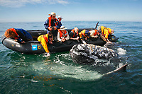 Adult California gray whale, Eschrichtius robustus, approaches excited whale watchers in the calm waters of San Ignacio Lagoon, Baja California Sur, Mexico, Pacific Ocean No model releases.