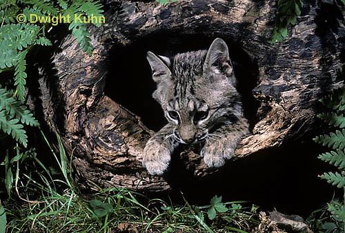 MA26-056z  Bobcat - Felis rufus