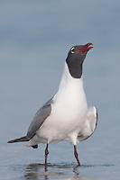 Laughing Gull (Larus atricilla) calling