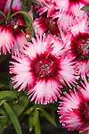DIANTHUS CHINENSIS DYNAMIC CASSIS, CHINA PINK
