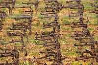 pinot noir cordon simple training old vine vineyard romanee st vivant vosne-romanee cote de nuits burgundy france