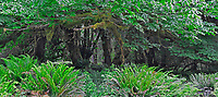 Window-like view of rain forest ferns & moss understory of Big Leaf Maple trees in Quinault Rain Forest, Olympic National Park, Washington State