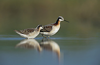 Wilson's Phalarope, Phalaropus tricolor, male and female, Welder Wildlife Refuge, Sinton, Texas, USA, May 2005