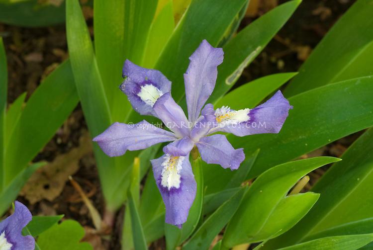 Iris cristata 'Eco Purple Pomp'