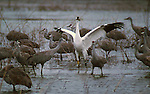 Whooping Crane amidst Sandhill Cranes, New Mexico, USA (Endangered)