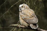 Fledgling Great Horned Owl (Bubo virginianus). Alberta, Canada. May.