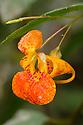 Orange Balsam / Orange Jewelweed {Impatiens capensis}. Strumpshaw Fen, Norfolk, UK. September.