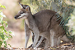 Undara Volcanic National Park, Queensland, Australia; a mother whiptail wallaby (Macropus parryi) with a baby joey in it's pouch, crouches in the shade of a bush, hiding from the hot afternoon sun