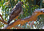 Red-tailed Hawk, Juvenile, Southern California