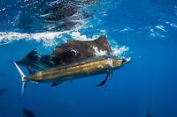Atlantic sailfish, Istiophorus albicans, carries away a Spanish sardine, Sardinella aurita, it has just seized, off the Yucatan Peninsula, Mexico (Caribbean Sea); bubbles from the surface lunge still escape through the sailfish's gills; #4 in sequence of 4 images