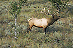 A bull elk bugling.