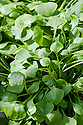 Winter purslane (Claytonia perfoliata). Also known as claytonia, spring beauty, Indian lettuce, or miner's lettuce (so-called because miners in the California Gold Rush ate it to prevent scurvy).