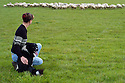 29/09/04 - IMPHY - NIEVRE - FRANCE - Patricia PETIT, troupeau de brebis croisees Texel et Charolaise - Photo Jerome CHABANNE