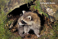 MA25-225z  Raccoon - young raccoon emerging from den - Procyon lotor