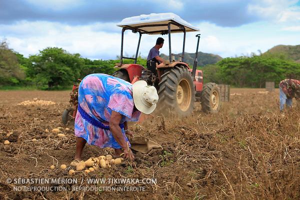 Récolte de pommes de terre à Bourail, Nouvelle-Calédonie