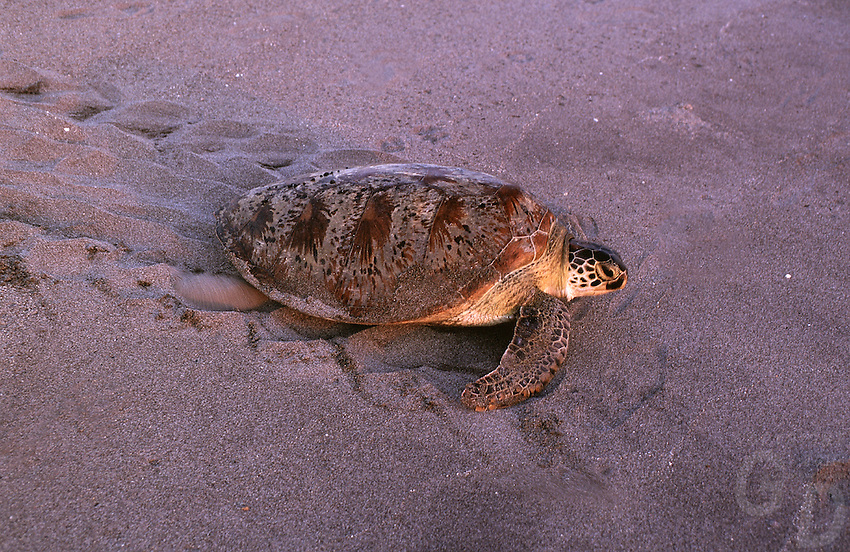 Green Turtle returning to the Ocean, Philippines