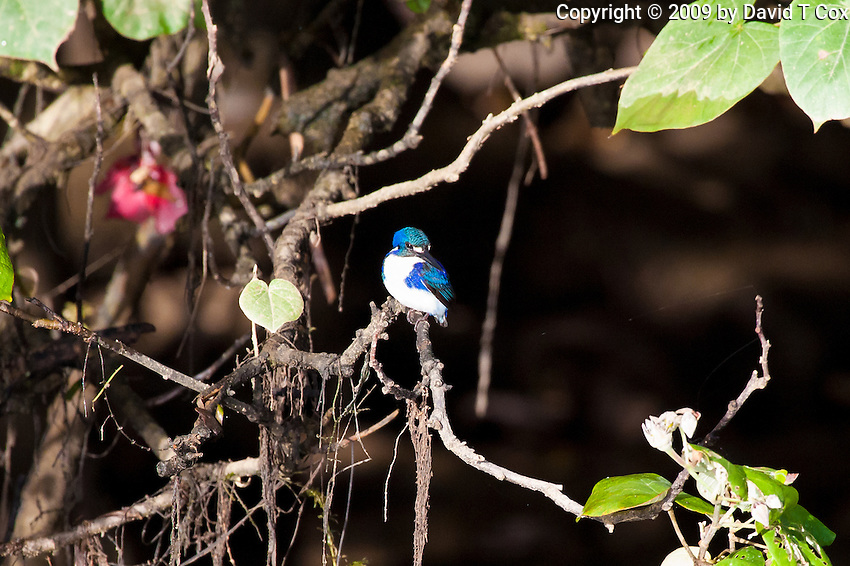 Little KIngfisher, Daintree River, Queensland, Australia