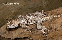 1R19-521z  Desert Spiny Lizard, Sceloporus magister