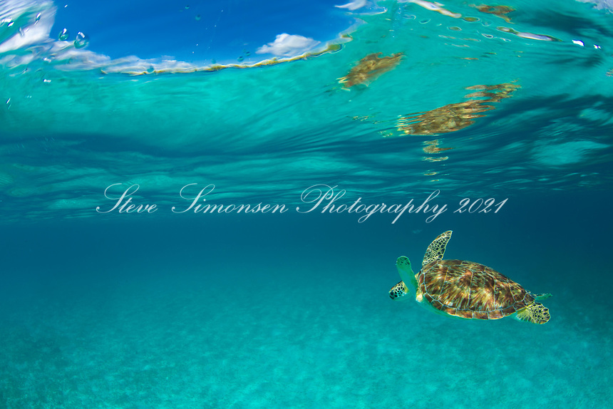 Green Sea Turtle<br /> St. John<br /> Virgin Islands National Park<br /> US Virgin Islands
