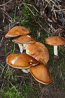 Körnchen-Röhrling, Körnchenröhrling, Schmerling, Schälpilz, Suillus granulatus, Suillus lactifluus, weeping bolete, granulated bolete