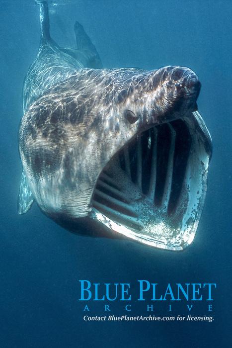 basking shark, Cetorhinus maximus, feeding on plankton, Cornwall, England, United Kingdom, Great Britain, British Isles, North Atlantic Ocean