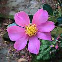 Autumn-flowering Camellia sasanqua 'Hugh Evans', early November.