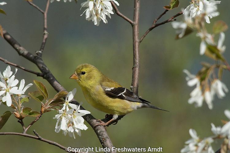Female American goldfinch