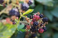 Brombeere, Brombeeren, Beeren, Früchte, Frucht, Echte Brombeere, Rubus fruticosus agg., Rubus sectio Rubus, Rubus fruticosus, blackberry, bramble, fruit, ronce